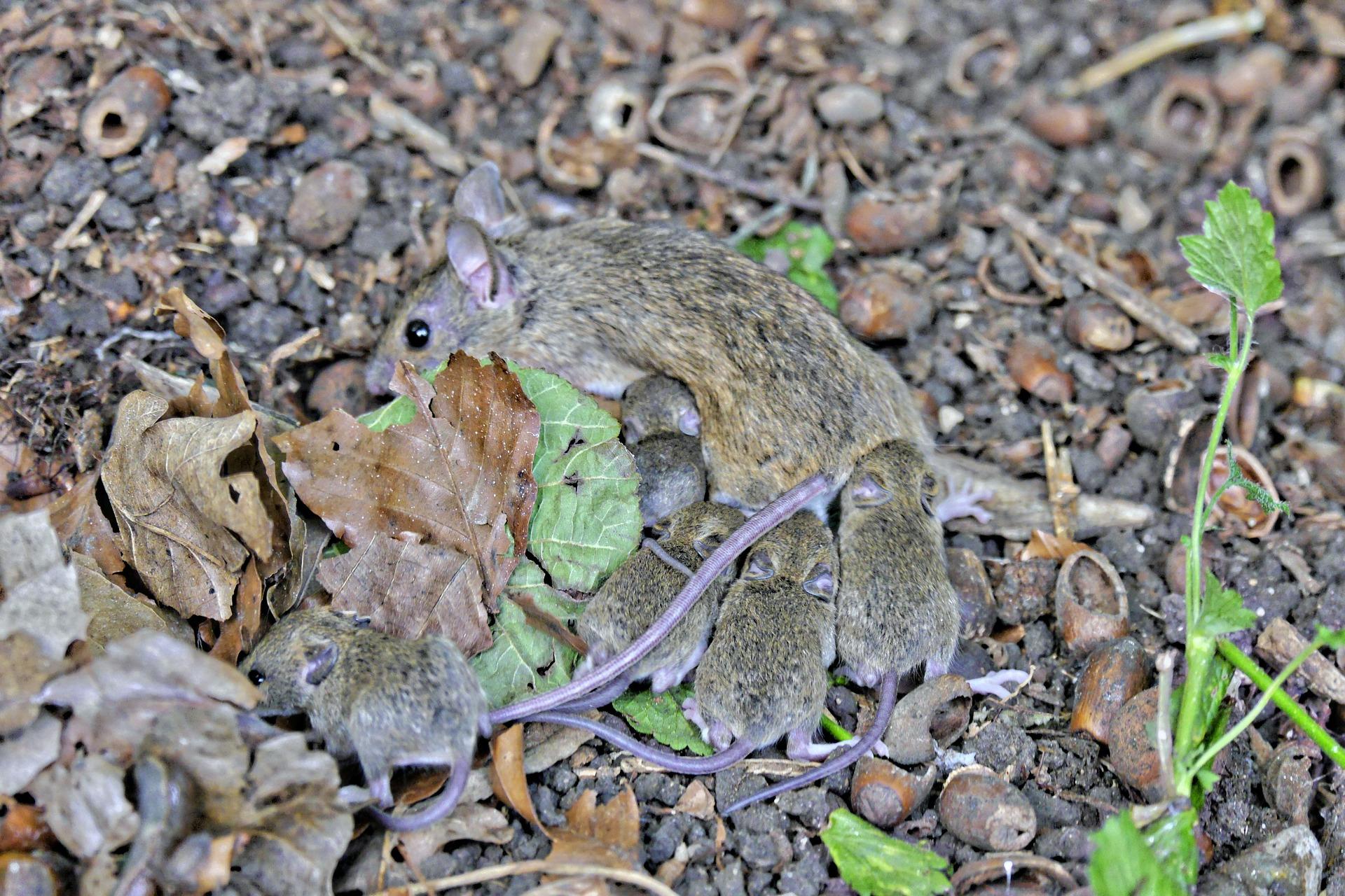 Pismo PZPRZ do ministra rolnictwa w sprawie plagi myszy